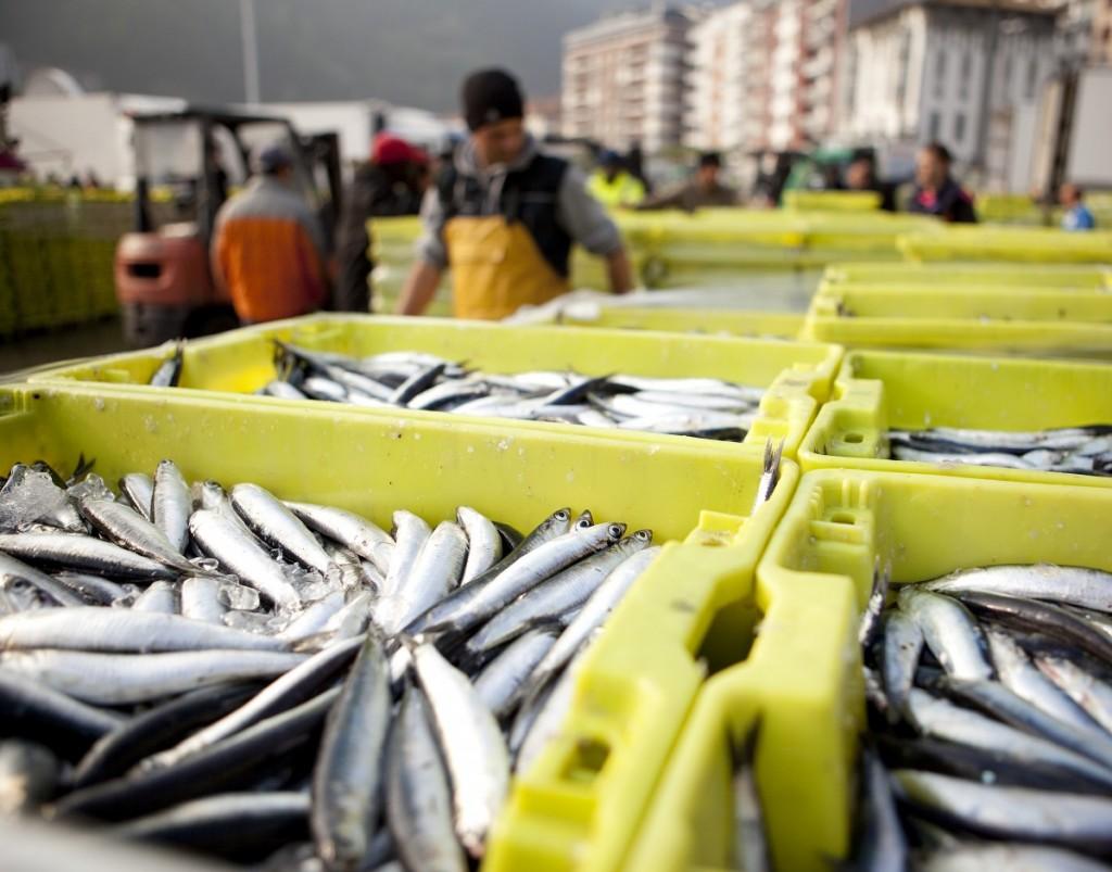 La primera anchoa del Cantábrico Campaña 2016, excelente para prepararla de muchas maneras