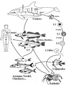 Anisakis life cycle. Google photo.