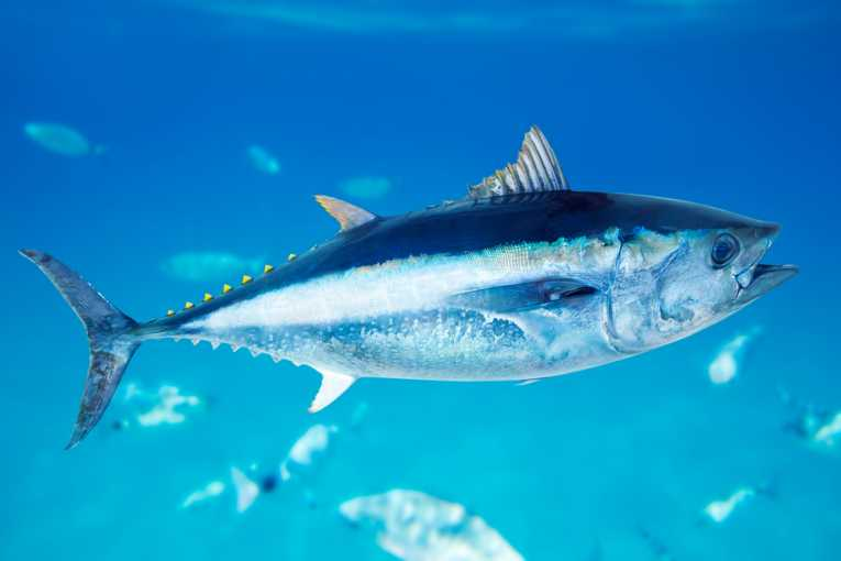 atun-rojo-bluefin-tuna