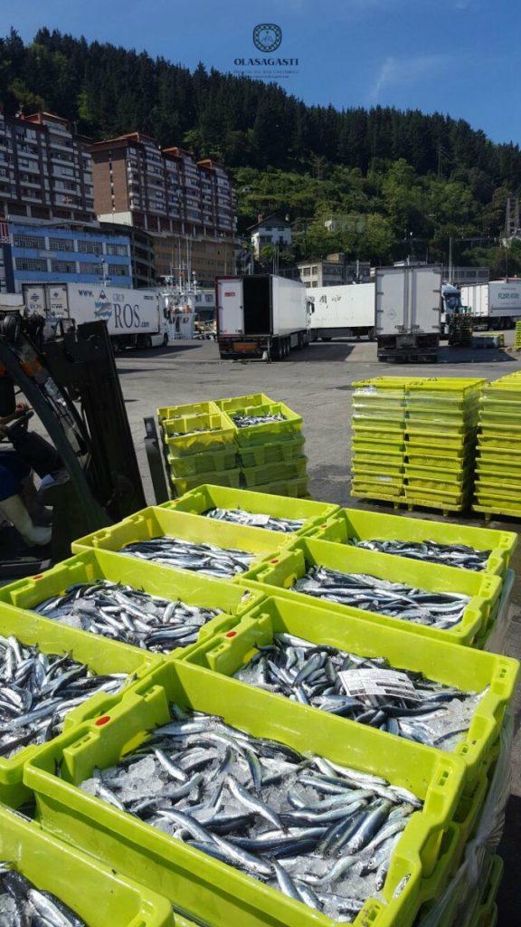 descarga de la anchoa olasagasti en el puerto de ondarroa