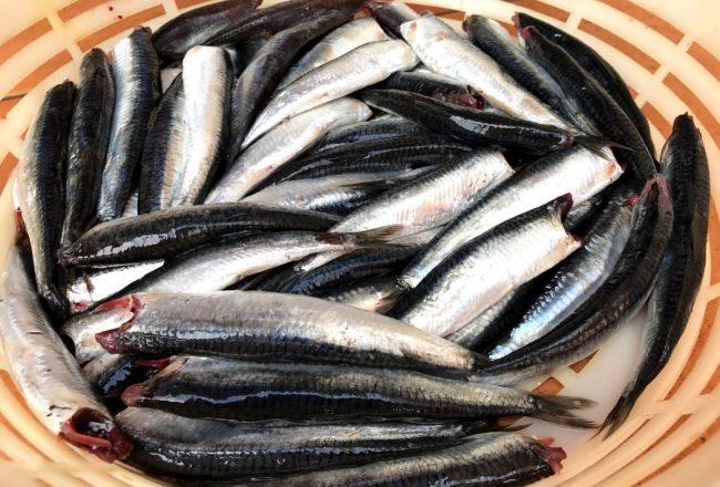Pescado fresco para preparar anchoa en salazón en la fábrica de Conservas Dentici-Olasagasti