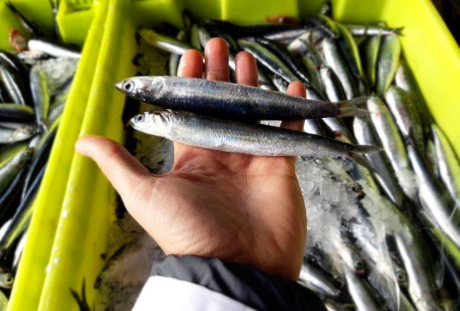 La anchoa del Cantábrico fresca en la fábrica Olasagasti