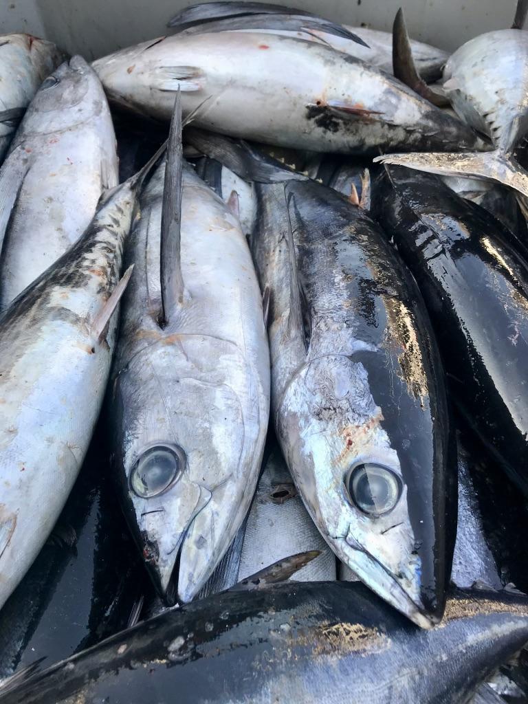 Bonito del Norte del Cantábrico en nuestra visita al puerto pesquero de Getaria