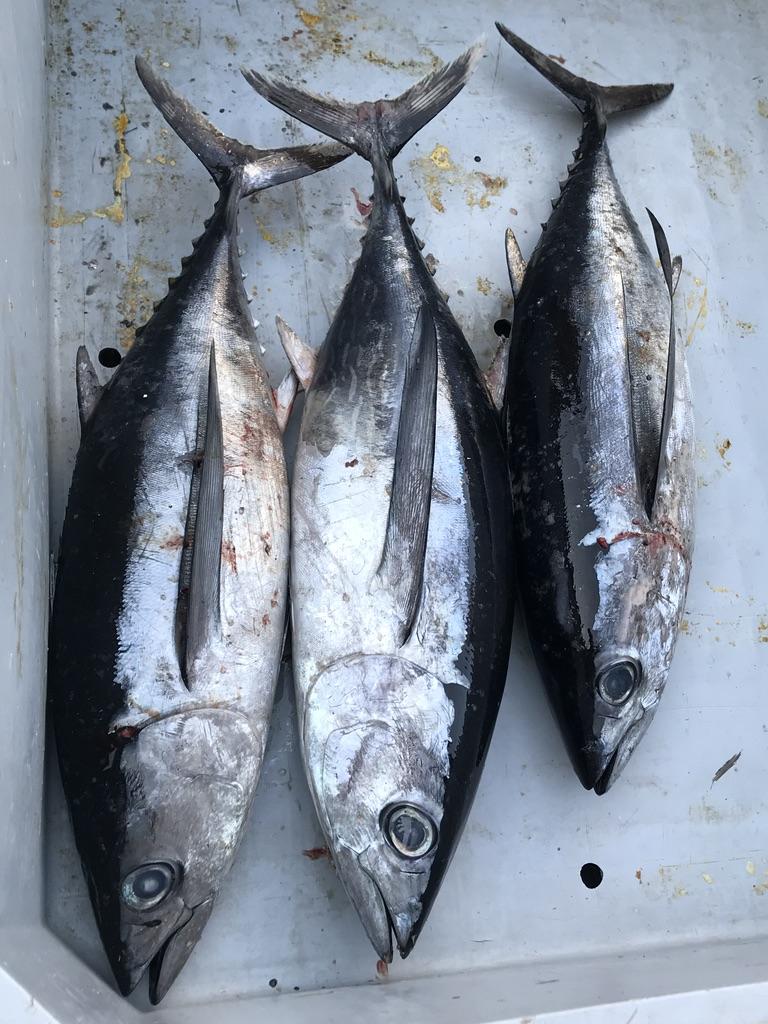 Bonito del norte para conservas Olasagasti en nuestra visita al puerto pesquero de Getaria
